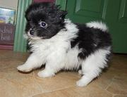 Toy BL & Wh Parti Pomeranian female